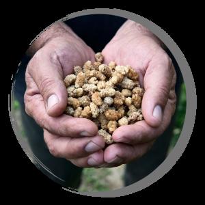 Mulberry healing features in Tajikistan