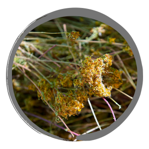 plant-tutsan-avj